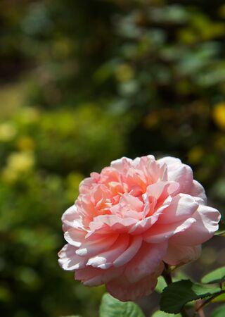 Large Pink Rose with soft focus green bushes in background