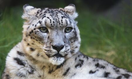 snow leopard: Young snow leopard looking to the right with a soft focus green grass background