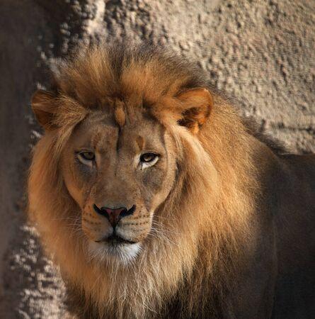 Grande maschio Lions testa guardando la fotocamera con morbido sfondo  Archivio Fotografico - 7858269