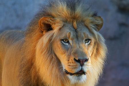コンクリートの背景と右をしているライオンズ ヘッドのクローズ アップ 写真素材