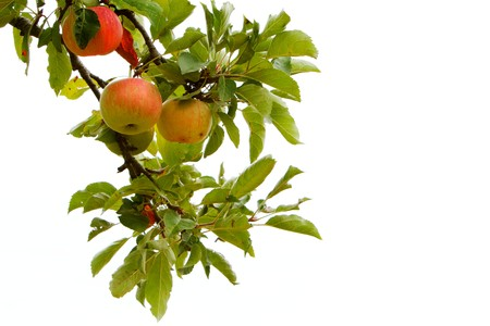 白い空に対して隔離される枝にりんごを 4 つ 写真素材