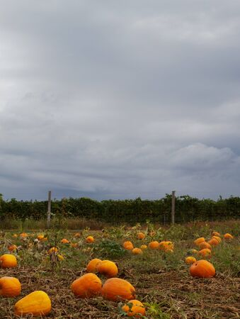 Pumpkin field  with dark cloudy sky in background photo