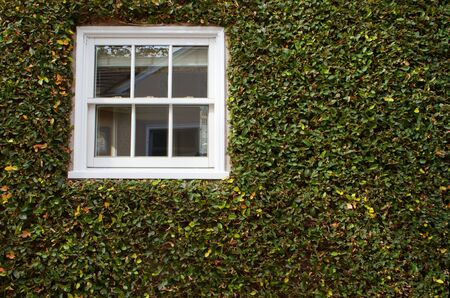 Green ivy covered wall with white window photo