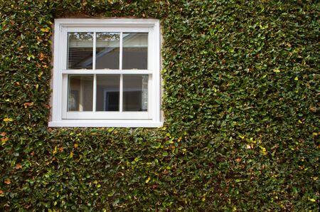 Groene klimop bedekte muur met wit venster  Stockfoto