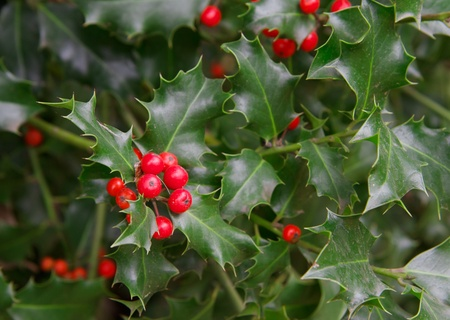 houx: Red berries and thorny green leaves of a holly plant