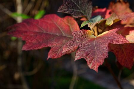 Red, orange, yellow, and green leaves of an oak leaf hydrangea