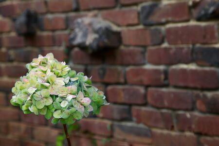 clinker: Autumn Green ortensia fiore contro un muro di mattoni rosso di Clinker
