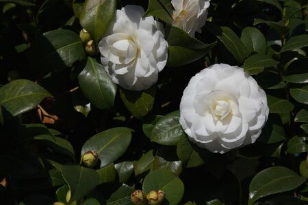 緑の葉の多くに対して 2 つの白いツバキ