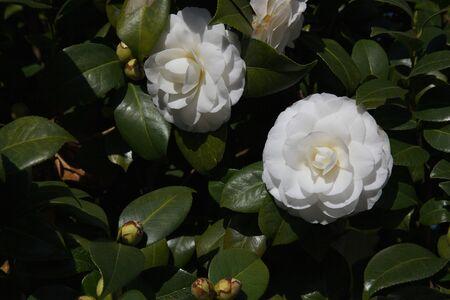 Deux camélias blancs contre beaucoup de feuillage vert Banque d'images - 8531879