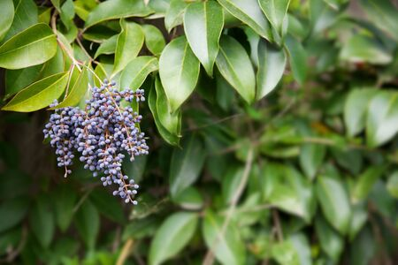 Privet branch with its blue berries against a background of a soft focus green leaves