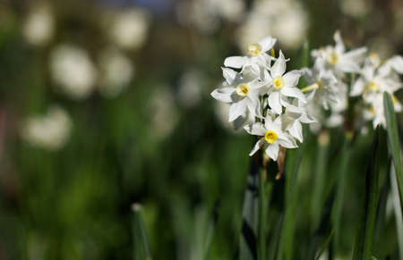 Bunch of blooming white and yellow daffodils photo