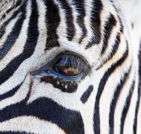Close up a single zebra eye and a portion of the head photo