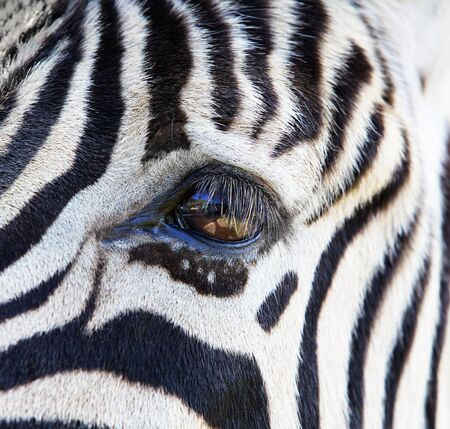 close up eyes: Close up a single zebra eye and a portion of the head