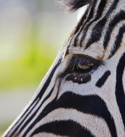 Close up a single zebra eye and a portion of the head  bisecting the image on a diagonal photo