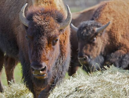 Two brown Buffalos moving toward viewer with lead buffalos head in focus and soft background Banco de Imagens