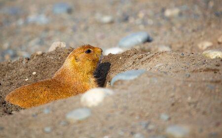 単一黄金褐色プレーリードッグは地面に彼の穴からのぞいて