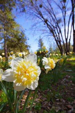 large Single Daffodil with soft focus field of flowers, trees, and blue sky photo