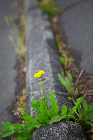 Single yellow dandelion flower on a parking lot park stop that dimishishes to the background