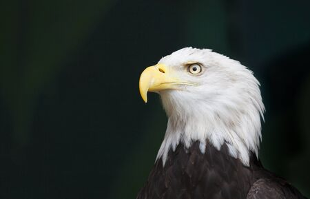 An eagles head in a threatened pose against a black background
