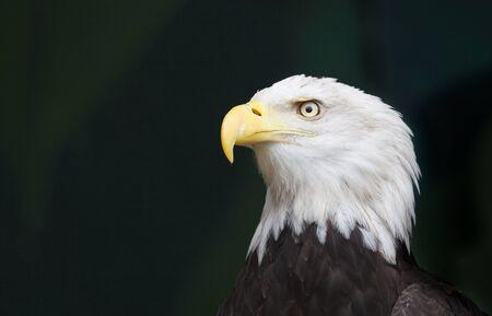 aguila calva: Una cabeza de águila en una pose amenaza contra un fondo negro