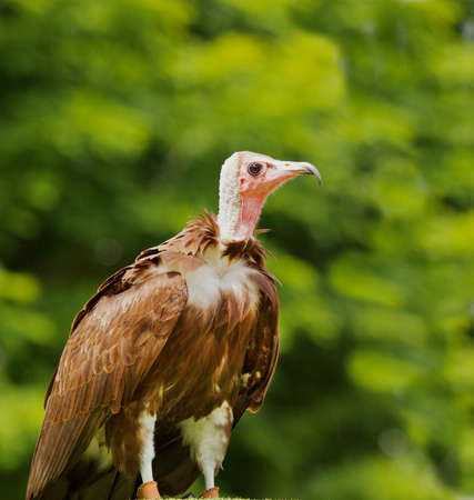 Pink headed brown feathered turkey vulture at the Oregon Zoo Stock Photo - 9998643