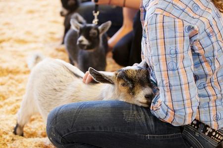 大会で女の子のハンドラーによって慰めされている若い赤ちゃんヤギ 写真素材
