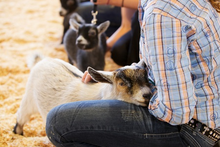 comforted: Young baby goat being comforted by a girl handler at a competition Stock Photo