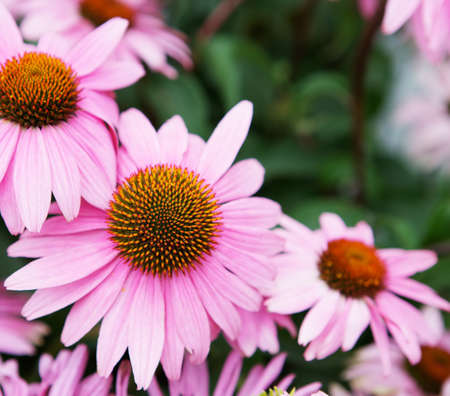 Single pink echinachea in focus surrounded by other soft focus flowers photo