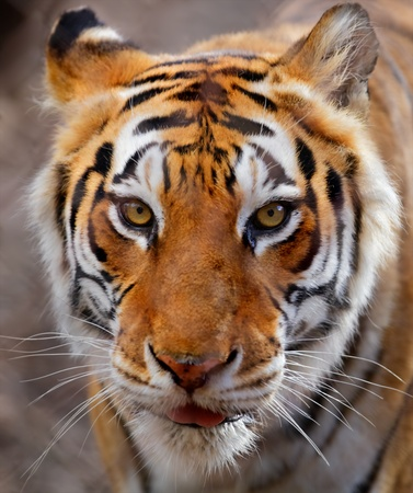 carnivores: Close up of a white, brown and black striped tiger Stock Photo