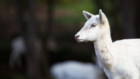 Furry white young fallow deer head with soft dark green focus background