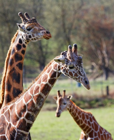 seem: Three giraffes seem like a family with two adults and one youngster with a narrow DOF and resulting soft background Stock Photo