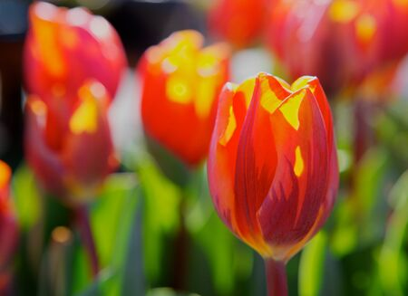 Close up of a red orange tulip back lit by sunlight with a soft focus flower background Stock Photo - 12947372
