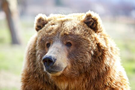 angry teddy: Fuzzy furry head of a seated brown bear