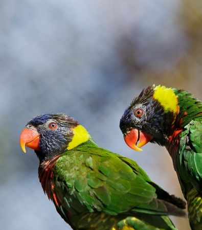 Pair of green, black, yellow feathered orange beaked Lorikeets photo