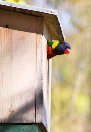 Colorful lorikeet peeking out the hole of a bird house photo