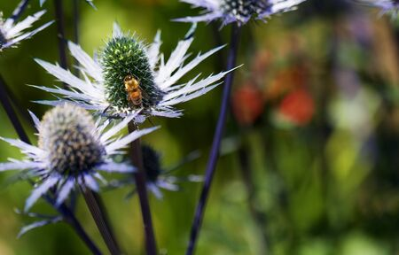 green been: Busy golden been on green pistal of blue thorny petal  Eryngium flower with soft background