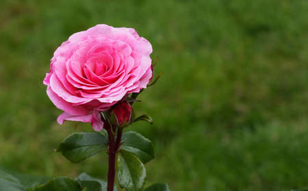 Single Pink Rose against soft green grass background photo