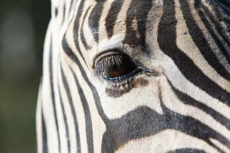 Close up a a single brown Zebra eye photo