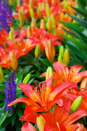 Macro of a red, orange, and yellow day Lilly with soft focus flowers in background Banco de Imagens