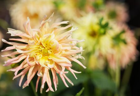 Close up of a Yellow and pink Dahlia with wild petals and soft flower background