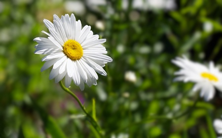 Single Marguerite Daisy Flower against soft focus green background and other flowers