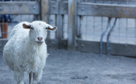 Single goat in pen with pensive look Banco de Imagens
