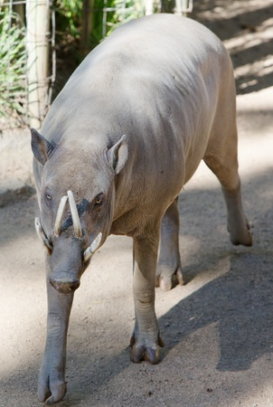 male pig: Young tusked Young Babirusa male pig coming toward camera Stock Photo