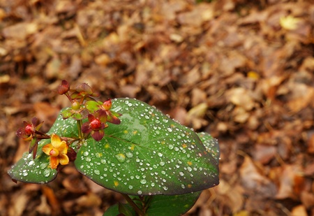 Baby winter rose bud and leaf covered in morning dew