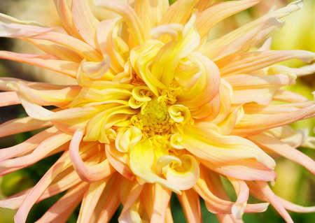 Close up of a Yellow and Red Dahlia with wild petals Banco de Imagens