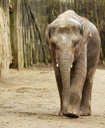 Adult Elephant walking towards camera with wood wall in background Banco de Imagens