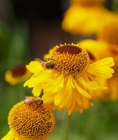 Honey Bees busy working on yellow cone flowers with very soft background Banco de Imagens