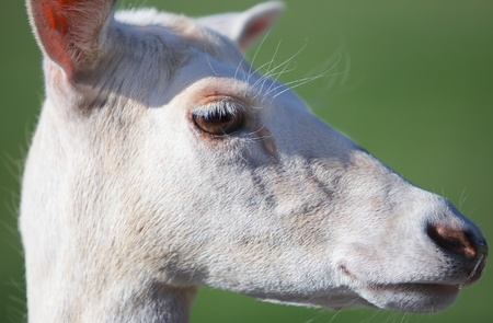 Head of young fallow deer looking straight into camera