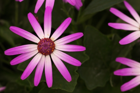 Magenta and with bicolor Baby Senetti flowers with soft green leaf background