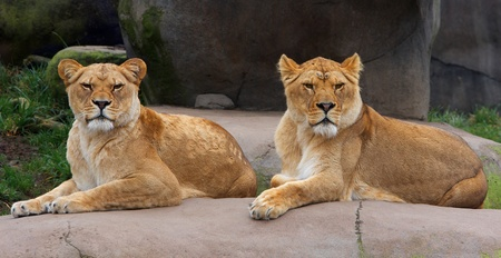 Pair of Female Lions keeping watch photo
